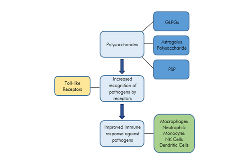 Figure 1: The Immunomodulatory Effects of Mushroom Polysaccharides.