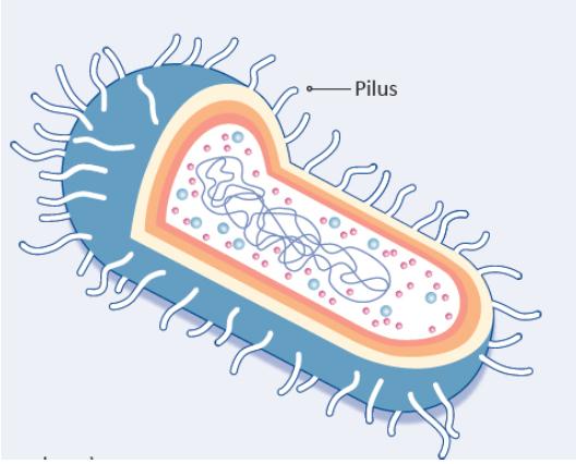 Figure 1: LGG® with Pili (Hair-Like Appendages) to Maximise Mucosal Adhesion.